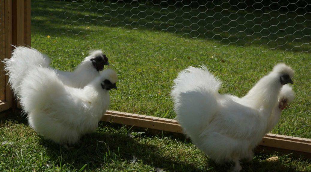 Zwerkseidenhühner weiß 1.3